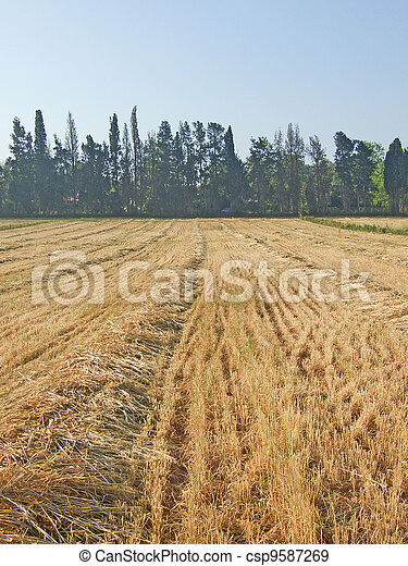 Reaped wheat field - csp9587269