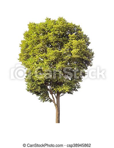 Árbol verde aislado en fondo blanco con camino de recorte - csp38945862