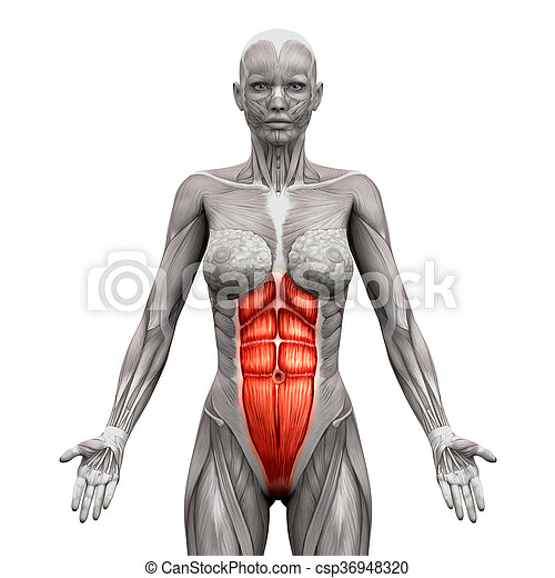 Rectus abdominis - abdominal muscles - anatomy muscles isolated on ...