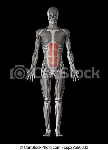 Human Muscle Anatomy Rectus Abdominis