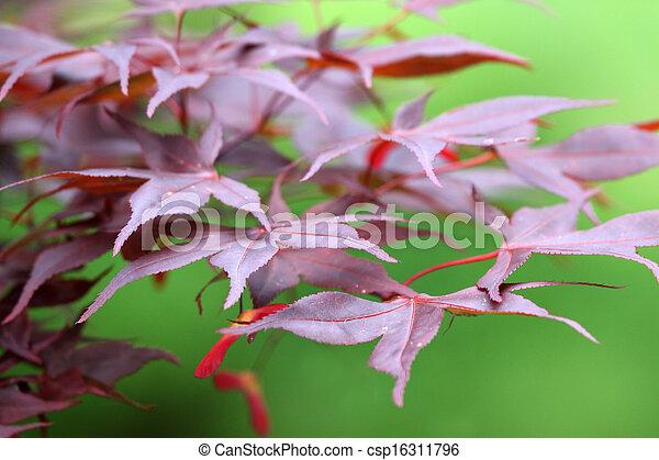 Red Acer palmatum - csp16311796
