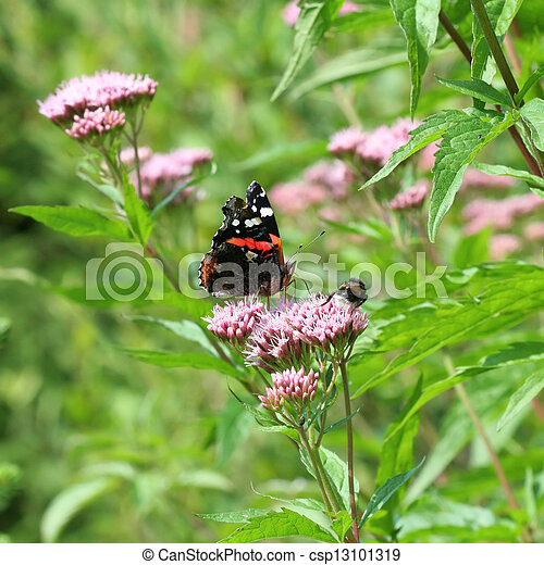Red Admiral Vanessa atalanta buttefly in forest meadow environment - csp13101319