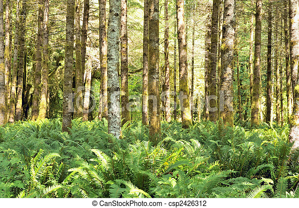 Red alders (Alnus rubra) and ferns in the Quinault temperate rainforest, Olympic National Park, Washington state, U.S.A. - csp2426312
