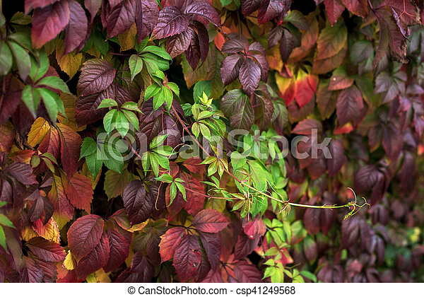 Red and green autumn leaves on a wall, background - csp41249568