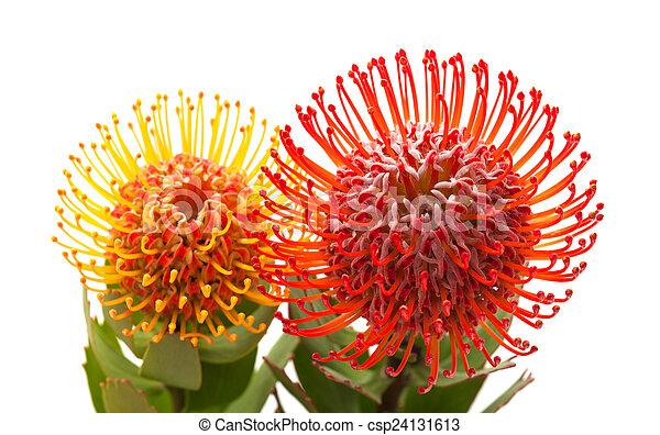 red and orange protea flowers - csp24131613