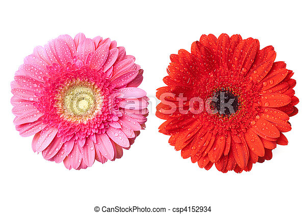 red and pink daisy-gerbera heads with water drops isolated on white - csp4152934