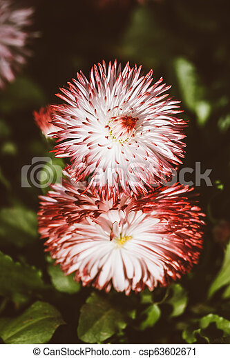 Red and White Chrysanthemum Flower in a Green Garden - csp63602671