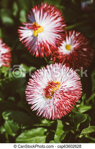 Red and White Chrysanthemum Flower in a Green Garden - csp63602628