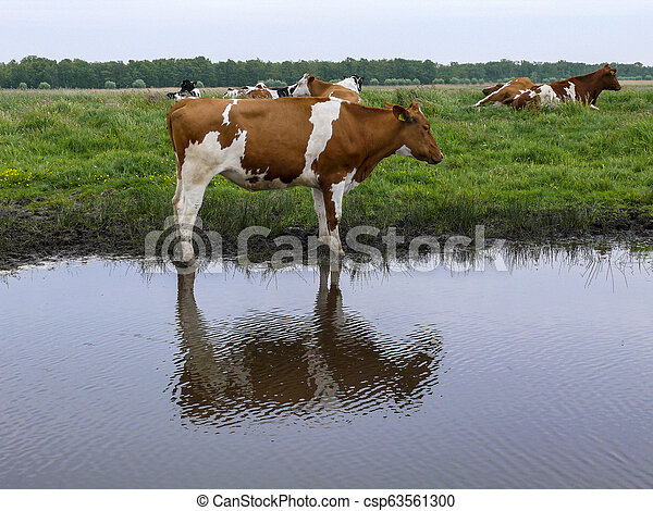 Red and white cow stands next to a creek, reflection of the cow in the water, with more cows at the background on a gray day with gray sky. - csp63561300