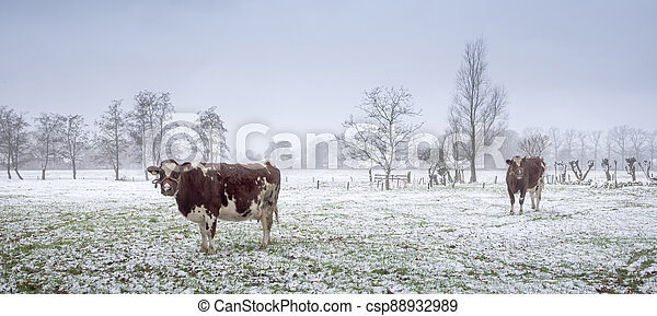 red and white cows in snow covered meadow near utrecht in holland - csp88932989