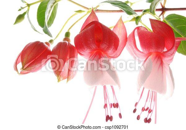 red and white fuchsia  - csp1092701