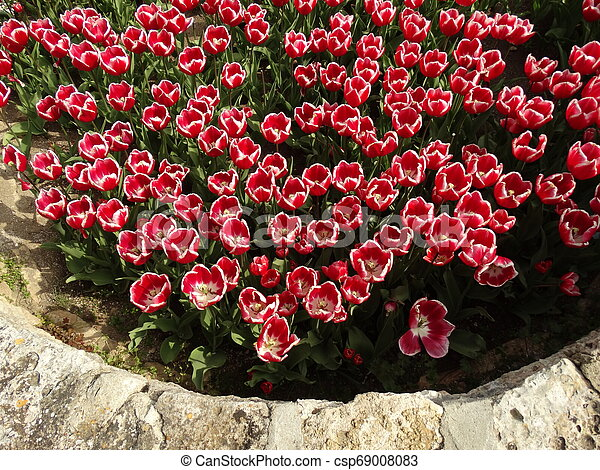 Red and White Tulips in a Garden - csp69008083
