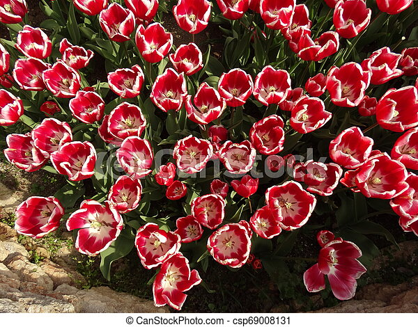 Red and White Tulips in a Garden - csp69008131