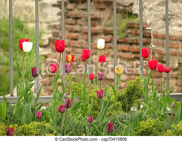Red and White Tulips in a Green Garden - csp70410806