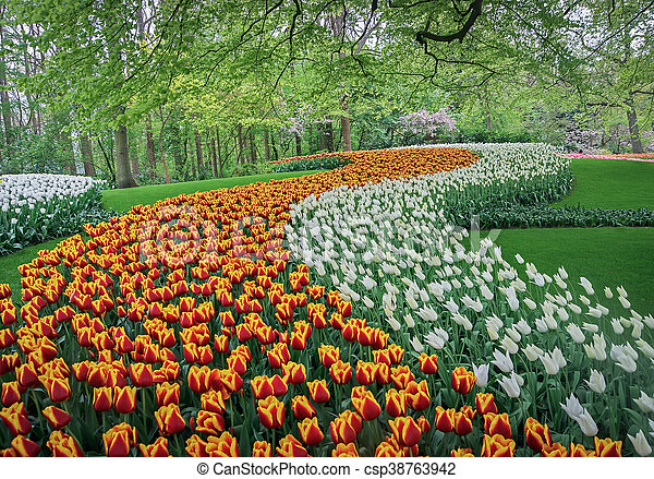 Red and white tulips in garden - csp38763942