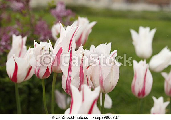 Red and white tulips in the garden - csp79968787