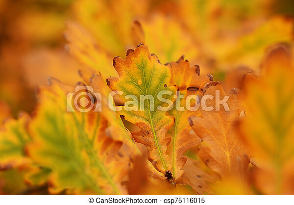 Red and yellow autumn oak leaves - csp75116015