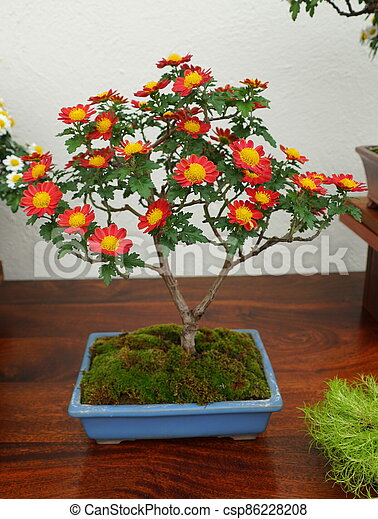 Red And Yellow Chrysanthemum Bonsai Tree Inside Of A Ceramic Pot Canstock