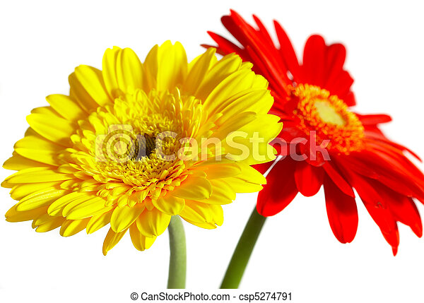Red and yellow flower on a white background - csp5274791