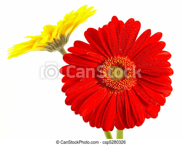 Red and yellow flower on a white background - csp5280326