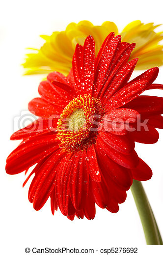 Red and yellow flower on a white background - csp5276692