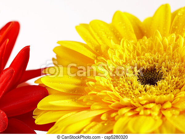 Red and yellow flower on a white background - csp5280320