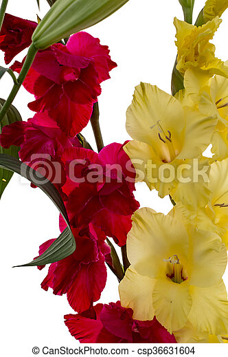 Red and yellow gladiolus flowers on white mightylinksfo