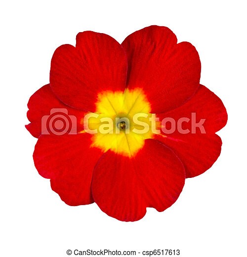 Red And Yellow Primrose Flower Isolated Single Red Primrose Flower