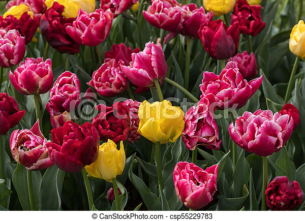 red and yellow tulips blooming in a garden - csp55229783