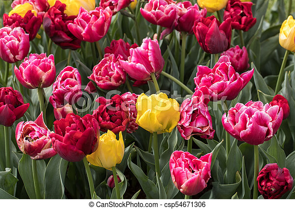 red and yellow tulips blooming in a garden - csp54671306