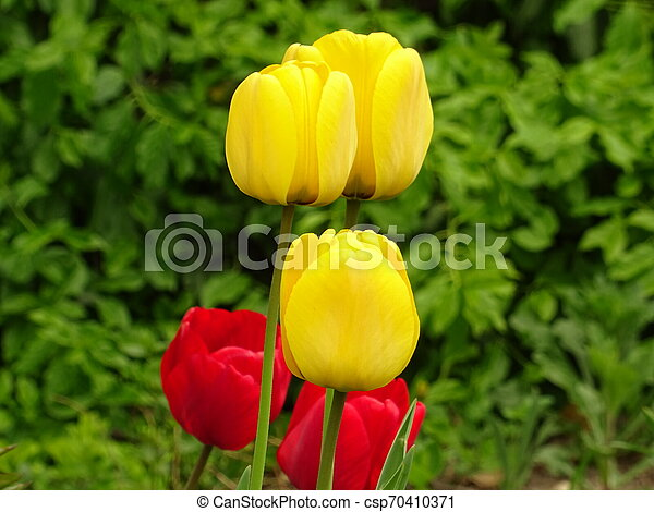 Red and Yellow Tulips in a Green Garden - csp70410371