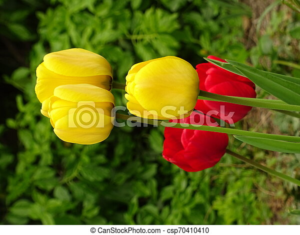 Red and Yellow Tulips in a Green Garden - csp70410410