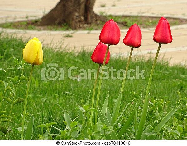 Red and Yellow Tulips in a Green Garden - csp70410616