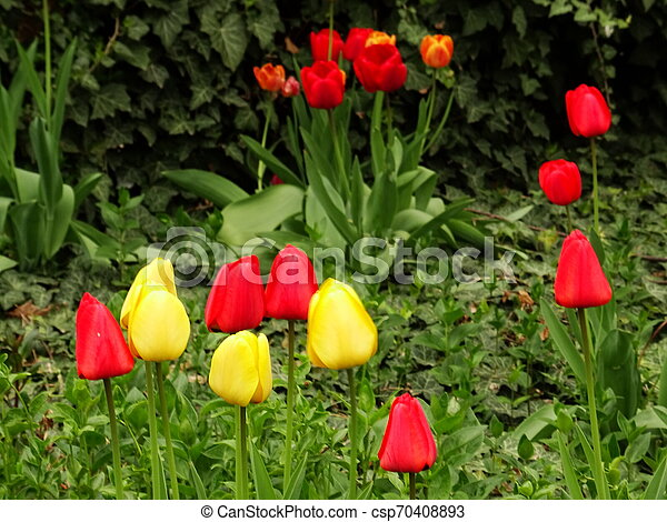 Red and Yellow Tulips in a Green Garden - csp70408893