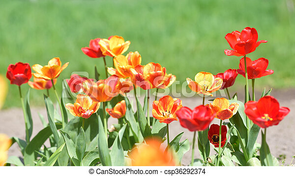 red and yellow tulips in garden - csp36292374