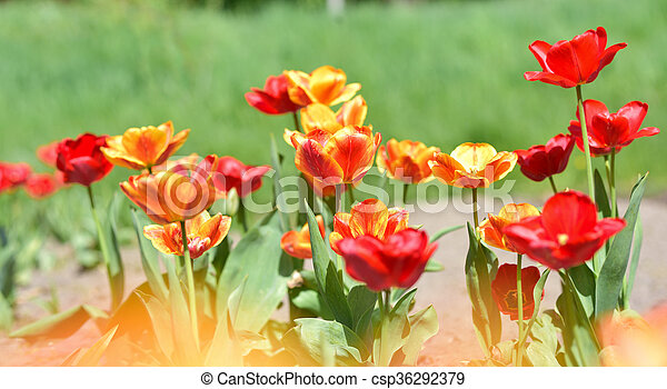 red and yellow tulips in garden - csp36292379