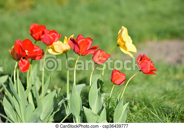 red and yellow tulips in garden - csp36439777