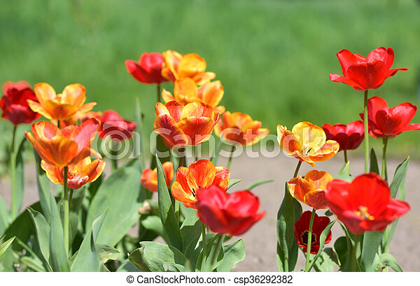 red and yellow tulips in garden - csp36292382
