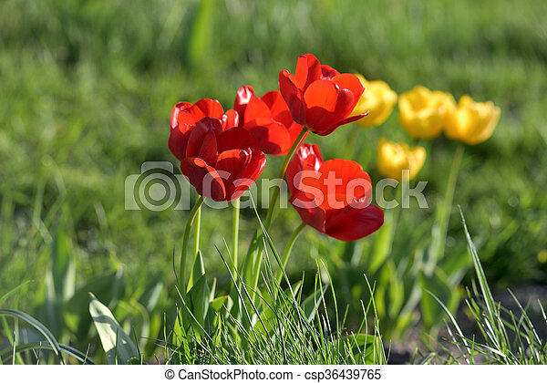 red and yellow tulips in garden - csp36439765