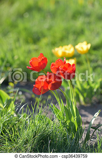 red and yellow tulips in garden - csp36439759