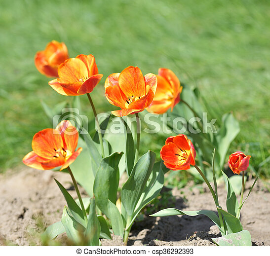 red and yellow tulips in garden - csp36292393