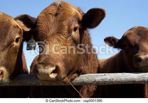 Red Angus Bull - csp0001390