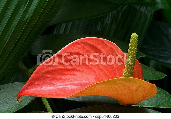 Red Anthurium Plant Against Foliage - csp54406203