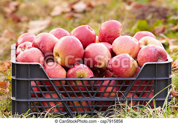 Red apples in a crate - csp7915856