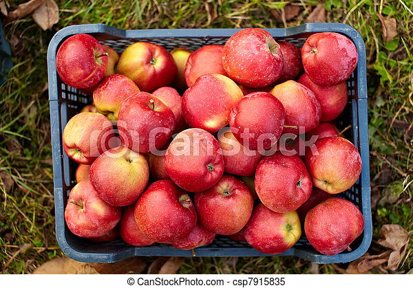 Red apples in a crate - csp7915835