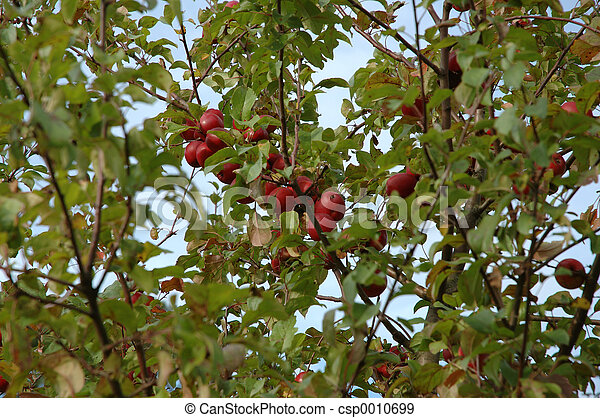 red apples - csp0010699
