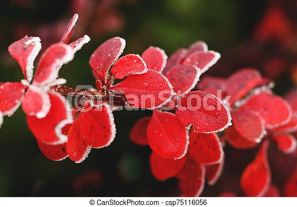 Red autumn barberry leaves close-up with hoarfrost - csp75116056