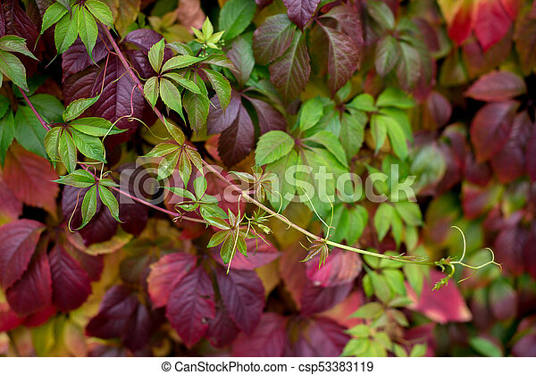 Red autumn leaves on a wall, background. - csp53383119