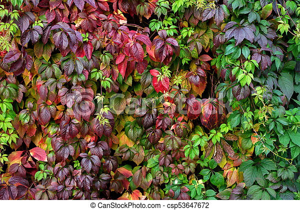 Red autumn leaves on a wall, background. - csp53647672