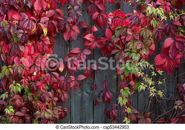 Red autumn leaves on a wall, background. - csp53442953